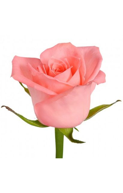 Роза сорта Анна Карина