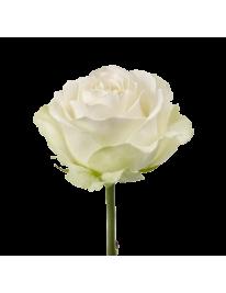 Роза сорта Аваланш