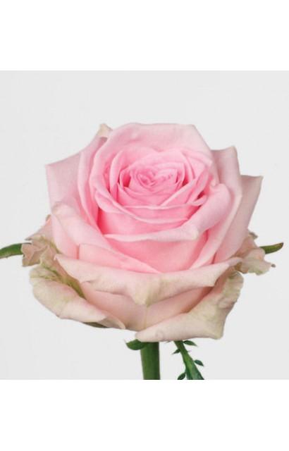 Роза Свит Доломити