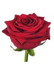 Роза сорта Ред Наоми